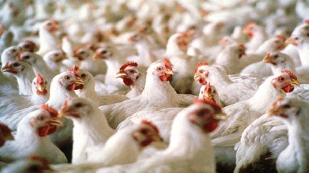 Böbrek taşı için tavuk taşlığı zarı